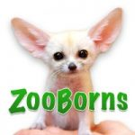 ZooBorns logo with fennec fox